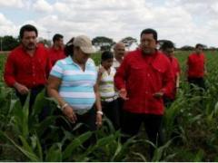 Venezuelan President Hugo Chavez walks through a corn field with local farmers during his Sunday TV and radio program (Zurimar Campos, ABN)