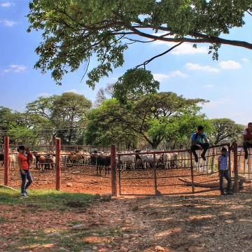 Cattle and dairy production