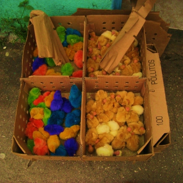 One practice that is common in rural Venezuela is the controversial use of food coloring to dye baby chicks a diverse array of colors (Mason London).