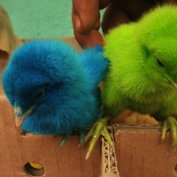 A close up of two chicks dyed before being sold to passerbys (Mason London).