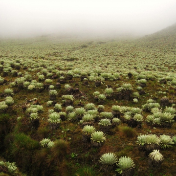 An image of a typical paramo landscape, covered in the endemic frailejon plant (Mason London).
