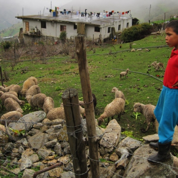 The son of a rural producer looks over the family's sheep as they eat broccoli produced on-farm (Mason London).