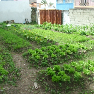In Merida it rains like crazy so the vegetables grow well, only now and then do we need to borrow water from the next door car wash, to water them ourselves. Apart from the lettuce and coriander, we also planted carrots, brocoli, corn, capsicum, chick peas, spring onion, and aloe vera.