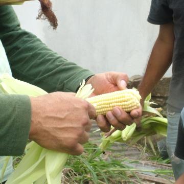 Opening the corn!