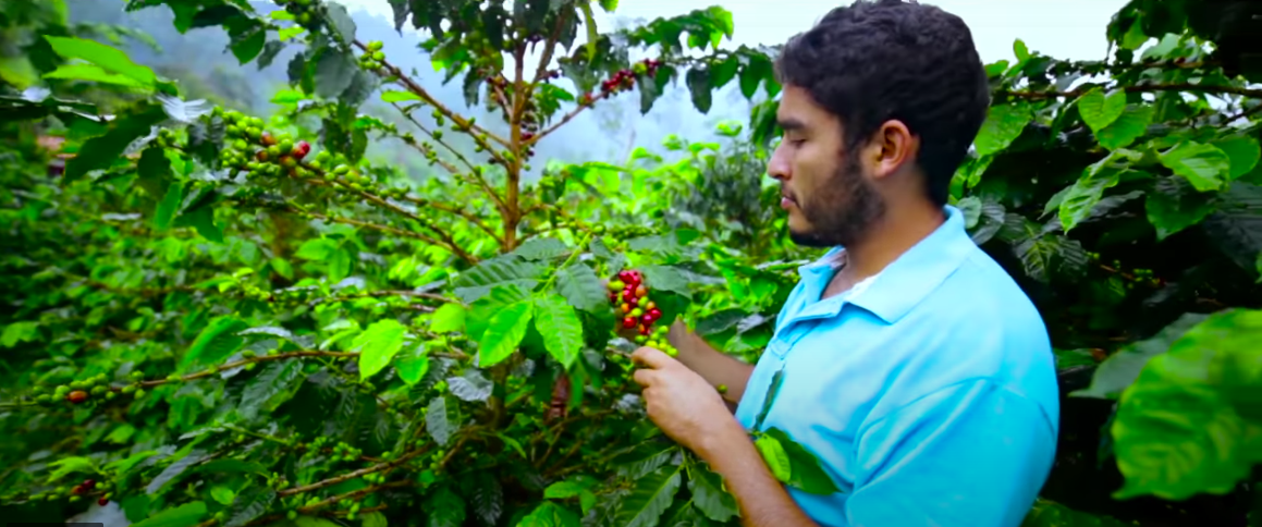 Felipe Venegaz caring for coffee trees. (Sinco/Condiciones Capt. 4)