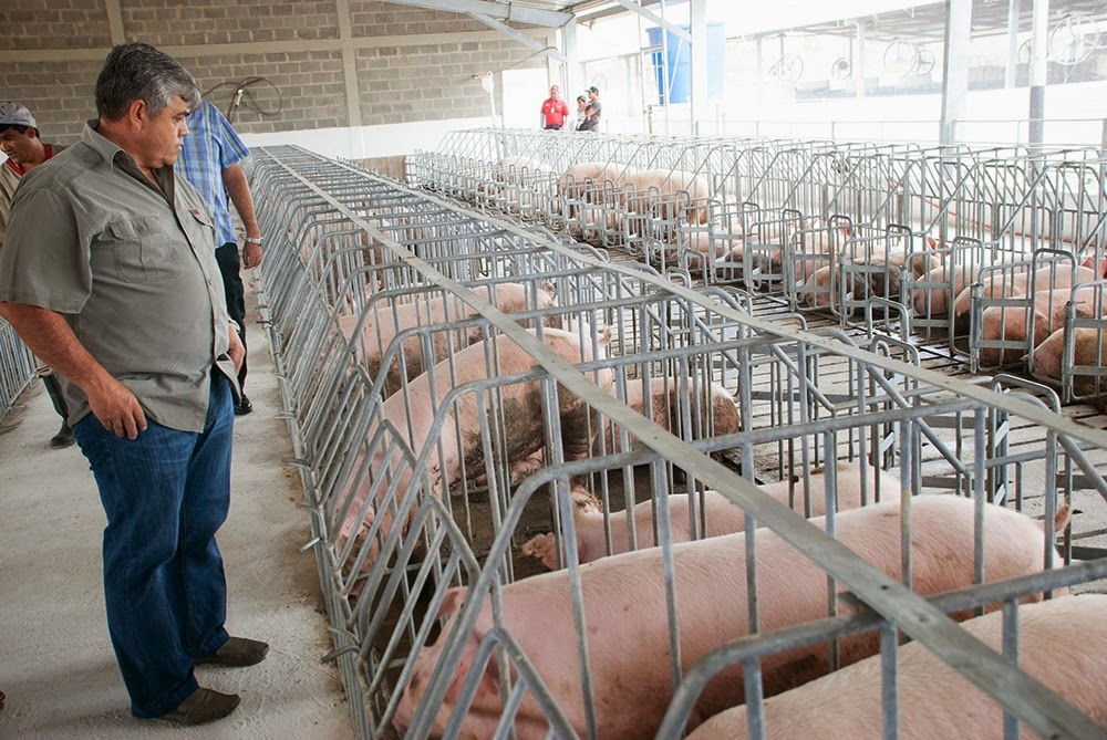 A state-run pig farm in Lara State has been reactivated after a takeover from El Maizal Commune. (Ministry of Agriculture Press)