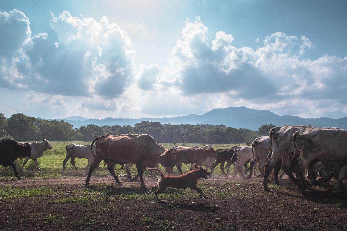 Cattle in El Maizal Commune. (Marcelo Volpe)