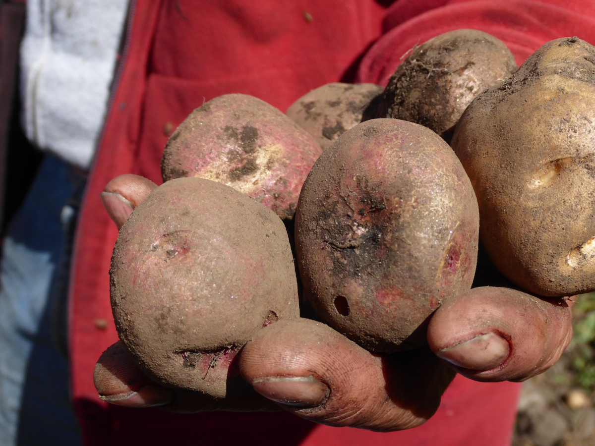 The Vertientes de Agua Viva cooperative in the Venezuelan Andes has dedicated itself to rescuing the native potato and other foodstuffs. (Christina Schiavoni)