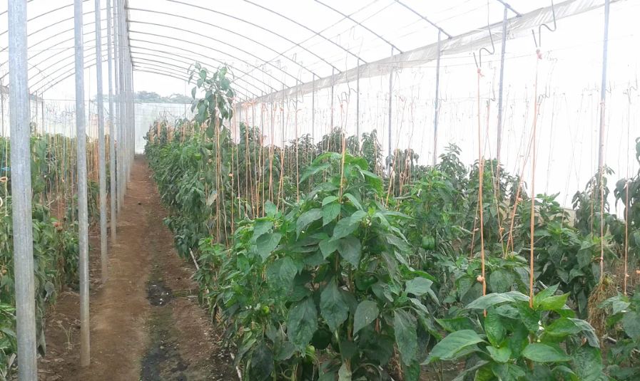 Production of bell peppers in the greenhouses taken over from FONDAS and recovered by the commune. (Ricardo Vaz)