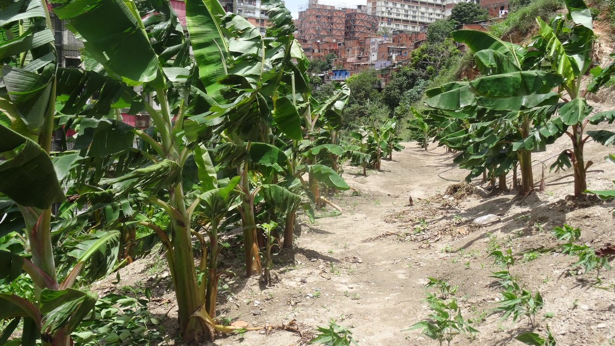 Growing food in the commune (Source: Twitter Comuna El Panal 2021)