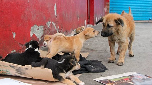 Due to a lack of strict rules on the sterilisation of pets, street dogs are common in Venezuela.