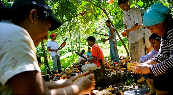 Workers harvesting cacao at the Monterosa plantation in Choroni, Venezuela. (Photo: Meridith Kohut/ The New York Times)