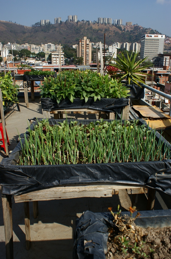 On the nine terraces, residents grow chives, chard, green beans, basil, cilantro, carrots, and radish.