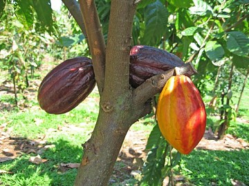 The cacao plant (yvke)