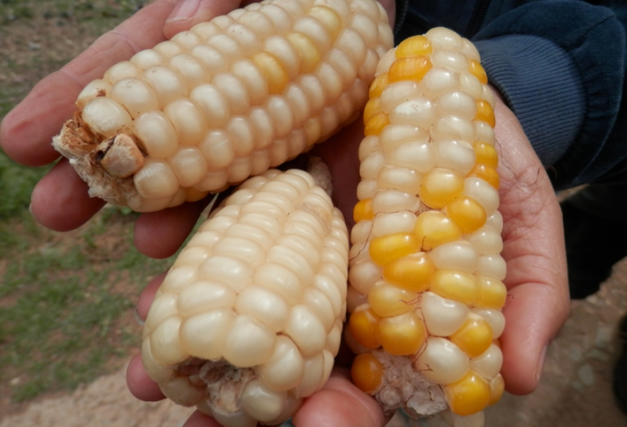 Corn is one of the staples of the Venezuelan diet and there have been efforts to rescue the native varieties. (Christina Schiavoni)