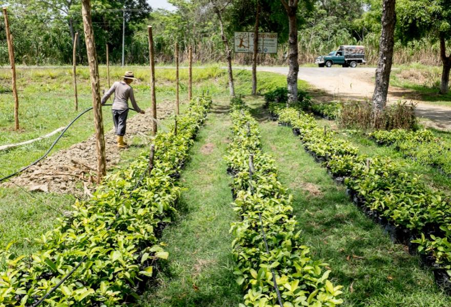 "Volunteer Susana from Portugal watering the guava tree seedlings."" (Marcus Murray)"